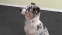 Polite Puppy Dog Training