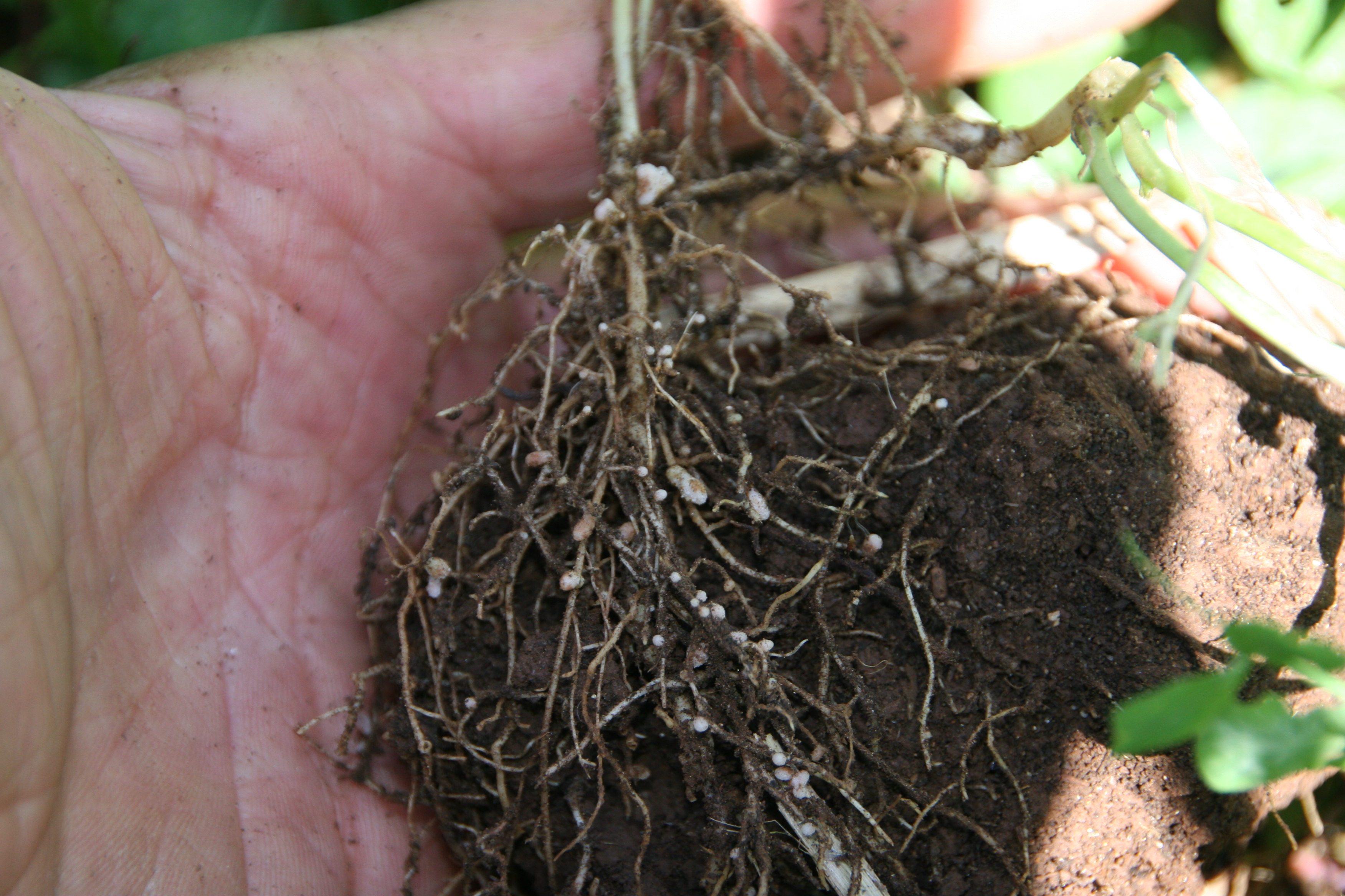 Nitrogen Nodules on Hairy Vetch